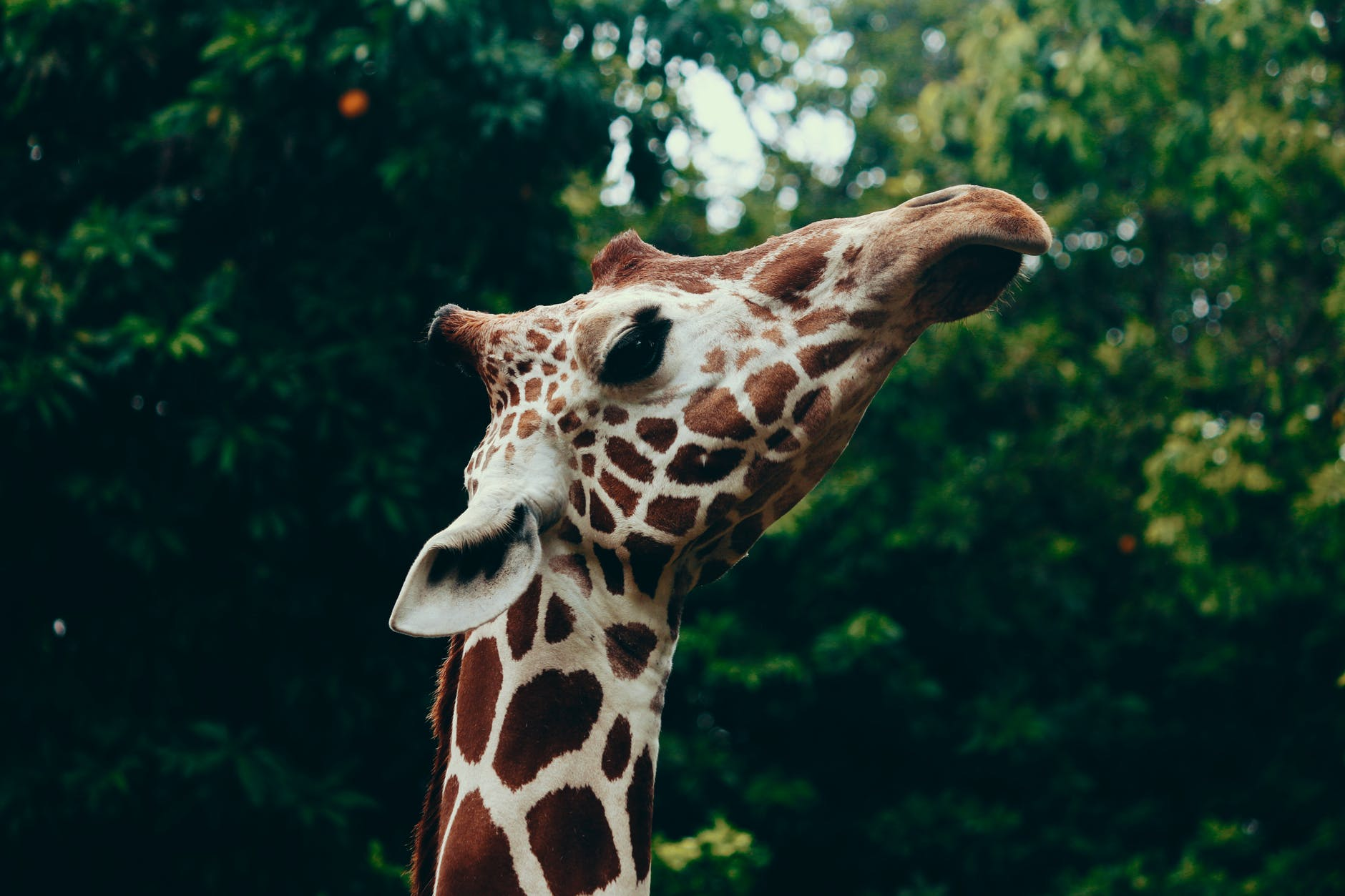 selective focus photography of giraffe head